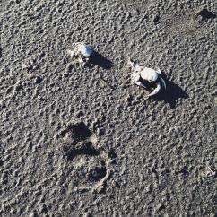 Cádaveres de Cangrejos cerca de Las Salinas de Las Cumaraguas